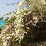 Splendide bouguainvillée blanches